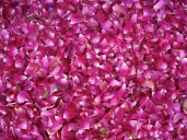 Romantic Rose Petals at Devi Gargh
